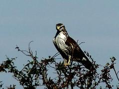 Common Buzzard 9.10.18 (ericy202) Tags: commonbuzzard buteobuteo whitebreasted blue sky flight