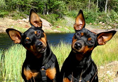 Father and daughter! (Toini O Halvorsen) Tags: dog dogs animal pet minpin pinscher nature