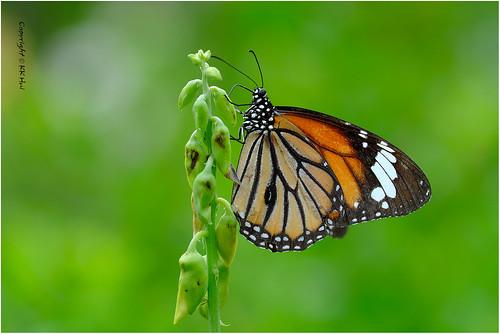 Common Tiger (Danaus genutia) 虎斑蝶 - 111018_DSF2681j