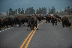 Circulation alternée (Samuel Raison) Tags: yellowstone yellowstonenationalpark ynp cautionwildlifeonroadway bison bisons buffalos buffalo road route nikkor nikon nikond3 nikond800 nikon282470mmafsg