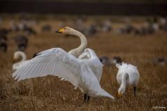 SO8A3848 (Risto Kuisma) Tags: finland finlande laulujoutsen joutsenet canon luonto nature outdoor wings siivet syksy autumn swans sulat whooperswan