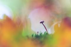 """Parental Advisory"" (Joe Effendi (Always Late!)) Tags: effendi fujix xt10 projectorlens projectionlens aldisanastigmat10cmf28 nature natuur outdoor closeup macro bokeh mushroom fungi paddestoel depthoffield dof donkereduinen adaptedlens oktober october 2018"
