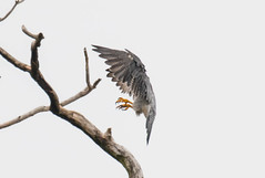 7K8A8234 (rpealit) Tags: scenery wildlife nature state line lookout peregrine falcon bird