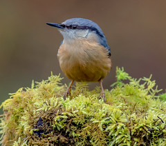 DSC6567  Nuthatch.. (jefflack Wildlife&Nature) Tags: nuthatch nuthatches birds avian animal animals wildlife wildbirds woodlands wildlifephotography jefflackphotography woods woodland forest trees gardenbirds songbirds countryside nature