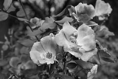 Simply Smooth (Modkuse) Tags: simplerose pink flower flowers roses rosegarden monochrome bw acros niksilverefexpro2acros fujifilm fujifilmxt2 xt2 xf1855mmf284rlmois fujinon fujinonxf1855mmf284rlmois art photoart artphotography fineartphotography fineart