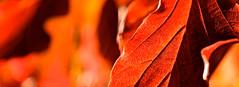 AUTUMN COLOUR (chris .p) Tags: croft parkland herefordshire nikon d610 leak colour autumn 2018 nt nationaltrust capture uk england october closeup