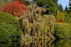 Weeping Autumn (Stephen Reed) Tags: autumn nationaltrust lightroomcc nikon d7000 sussex england naturesfinest