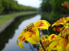 Summer Flowers Over Canal ☺ (crush777roxx) Tags: crush777roxx crush 20170721 2017 july 21st compact camera sony hx90v sweden stockholm scandinavia nordic landscape flower yellow red green canal water reflection summer morning sunrise natur landskap paysage 性质 景观 自然 風景 31821198 share kindness sharethekindness summermorning summerflowers stockholmsweden compactcamera sonyhx90v snickerdoodle😊🌻