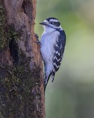 Downy Woodpecker (Bill McDonald 2016) Tags: downy woodpecker small canada ontario 2018 nature tree mossy cavity hole wildlife billmcdonald wwwtekfxca perching green sunny