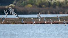 Vol de barges (denis.loyaux) Tags: bargeàqueuenoire blacktailedgodwit charadriiformes limosalimosa scolopacidés bird oiseau