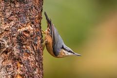 Nuthatch D85_6838.jpg (Mobile Lynn) Tags: bird nature nuthatch birds fauna passerine sittidae wildlife england unitedkingdom gb coth specanimal ngc coth5 npc