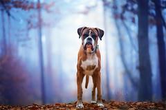 45/52 foggy world (Kerstin Mielke) Tags: 52weeksfordogs kurt boxerdog fog forest blue