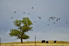 Happy First Day Of Fall! (Chamblin1) Tags: autumn fall lone tree ducks south colorado pasture cows country