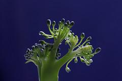 Broccoli tip (Arkle1) Tags: macromondays remedy