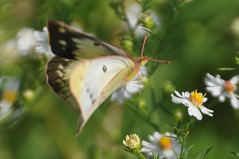 in a flurry of motion (christiaan_25) Tags: orangesulphur alfalfabutterfly coliaseurytheme butterfly flowers asters wildflowers nature motion blur flight flying