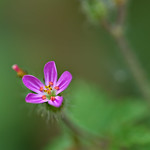 Geranium Robertianum thumbnail