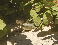 2017-04-22_12-24-17 Iguana (canavart) Tags: sxm stmartin stmaarten fwi sintmaarten caribbean beach pinelisland iguana iletpinel