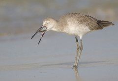 Willet (Tommy Quarles) Tags: willet panama city beach florida bay county fl canon 7d mark ii
