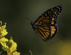 MonarchButterfly_SAF7756 (sara97) Tags: danausplexippus butterfly copyright©2018saraannefinke endangered insect missouri monarch monarchbutterfly nature photobysaraannefinke pollinator saintlouis inflight flight