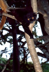 Black Lemur (Eulemur macaco) male ... (berniedup) Tags: nosykomba madagascar blacklemur eulemurmacaco lemur taxonomy:binomial=eulemurmacaco