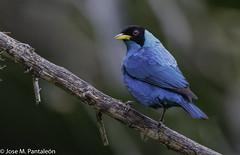 1-Salvo la isla de Trinidad, no se encuentra en las Antillas. Es el único miembro de su género, Chlorophanes. (Cimarrón Mayor 15,000.000. VISITAS GRACIAS) Tags: ordenpasseriformes familiathraupidae génerochlorophanes mieleroverdemacho reydetrepadores reydelmar nombrecientificochlorophanesspiza nombreinglesgreenhoneycreeper male lugardecapturafincaalejandriakm18 valledelcauca colombia yenelalmaazulcelestebrotaunjacintorosado jmartí ave vogel bird oiseau paxaro fugl pássaro птица fågel uccello pták vták txori lintu aderyn éan madár cimarrónmayor panta pantaleón josémiguelpantaleón objetivo500mm telefoto700mm 7dmarkii canoneos canoneos7dmarkii naturaleza libertad libertee libre free fauna dominicano pájaro montañas
