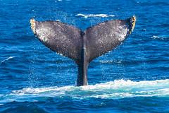 whale7Oct5-18 (divindk) Tags: anacapa anacapaisland channelislands channelislandsnationalpark humpbackwhale megapteranovaeangliae sanmiguelisland santabarbara santacruzisland santarosaisland underwater ventura blueocean cetacean diverdoug flukes marine marinemammal ocean reef sea underwaterphotography whale whaletail