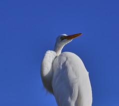 10-18-18-0038523 (Lake Worth) Tags: animal animals bird birds birdwatcher everglades southflorida feathers florida nature outdoor outdoors waterbirds wetlands wildlife wings