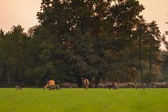 Tree of life... (adambotond) Tags: tree treeoflife reddeer deer stags hinds outdoor animal wildlife wildlifephotography wild wilderness wildanimal nature naturephotography somogy stvsz sunset forest field mammal ruminant adambotond hungary magyarország europe canon canoneos1dx canonef400f4doisiiusm landscape landscapephotography