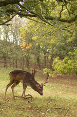 (Peertje.) Tags: deer stag buck roedeer animal animals forest forests wood woods nature naturephotography wildlife wildlifephotography nikon tamron fall autumn