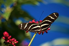 Blue Sky Background (ACEZandEIGHTZ) Tags: nikon d3200 nature zebra longwing butterfly fling insect sky bokeh heliconius charithonia coth coth5 sunrays5 naturethroughthelens ngc npc