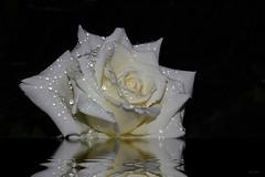 Flor na chuva (Zéza Lemos) Tags: flores flowers flor reflexos rosas rosa rose roseiras rain gotas water portugal algarve água jardim jardins