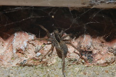 Pardosa sp. (cf - P. palustris)  Arachtober 26 (Procrustes2007) Tags: spider pardosasp pardosapalustris wolfspider arachnid arachtober macro nikond50