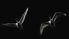 A Mono Duo (Bob's Digital Eye) Tags: abstract bw bobsdigitaleye canon canonefs55250mmf456isstm flicker flickr migration monotone october2018 swans t3i tundraswans waterfowlofnorthamerica wildbirds wildlife dark