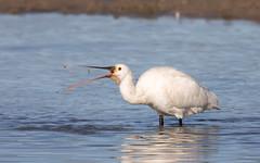 Spoonbill (Steart Marshes) (Steve Balcombe) Tags: bird european spoonbill platalea leucorodia white feeding steartmarshes somerset uk