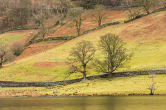 Rydal (Future-Echoes) Tags: 4star 2018 cumbria drystonewall fields lake lakeside rydal rydalwater sheep thelakedistrict trees walls england unitedkingdom gb