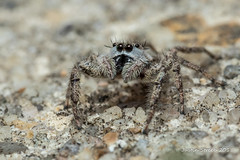 Little Brown Jumping Spider 2 (strjustin) Tags: jumpingspider arachnid spider insect bug macro eyes