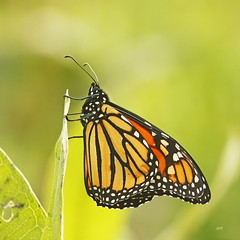 Monarque / Monarch (alainmaire71) Tags: insect lepidoptera lépidoptère papillon butterfly danainae danausplexippus monarque monarch nature quebec canada bokeh