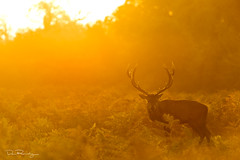 Majestic Sunrise (DanRansley) Tags: britain cervuselaphus danransleyphotography danransleynet england reddeer uk animal antlers autumn countryside dawn deer fall light majesty mammal morning nature rut rutting seasons stag sunlight sunrise wildlife