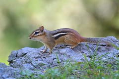 After The Storm (DaPuglet) Tags: chipmunk chipmunks animal animals nature wildlife bokeh gatineau ottawa dunrobin tornado weather storm coth5 specanimal wwshowcase alittlebeauty ngc npc