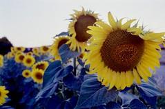 Sunflowers (michele.palombi) Tags: sunflowers tuscany italy summer2018 analogic 35mm