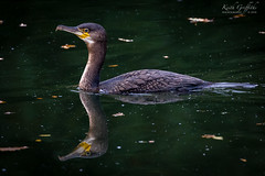 Cormorant (Photography - KG's) Tags: rspb cormorant wildlife nature bird birds animals reflection brandonmarsh reserve