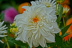 White Dahlia. (artanglerPD) Tags: white large dahlia long curled petals