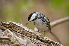 Taking a Poll (Doug Scobel) Tags: blackpoll warbler setophaga striata mageemarsh lake erie spring migration bird wildlife nature woodwarbler