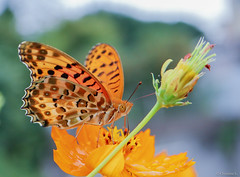 butterfly with cosmos (Christine_S.) Tags: orange flower nature garden rain japan cosmos canon efm28mmf35macroisstm