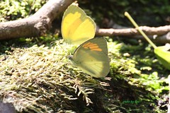 Orange n Yellow - IMG_3843n3 (Cell_cellphoto13) Tags: ned butterfly sanliu monday cell canon 100d taipo