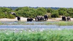 Elephants on the Chobe River (C McCann) Tags: botswana elephants chobe river africa national park herd