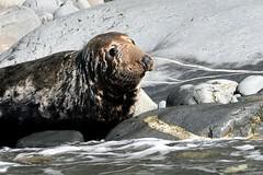 Portrait of a seal (karen leah) Tags: seal atlanticgreyseal cardiganbay wildlife nature outdoors sea portrait