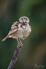 Blame The Rain (Megan Lorenz) Tags: burrowingowl owl owlet bird avian birdofprey nature wildlife wild wildanimals rain raining florida mlorenz meganlorenz