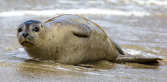18A_1294 (Mark Ritter) Tags: seal seals macro lajolla california