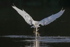 Ternegret (gseloff) Tags: snowyegret bird flight bif feeding water contrast splash nature wildlife animal fishing reflection horsepenbayou pasadena texas kayak gseloff